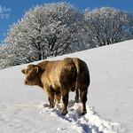 It's Wile Cow- L !