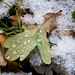 Leaf at Brecks Plantation (cpt Jan Gray), taken at Brecks Plantation Photography Day for Wildlife in the City