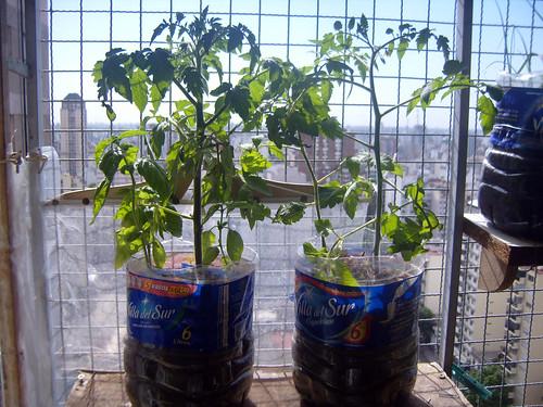 tomate I