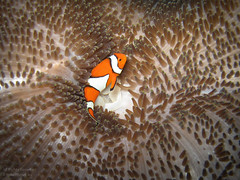 Clownfish on an Anemone Carpet (mikel.hendriks) Tags: sea bali orange fish true indonesia photo underwater nemo wildlife clown indianocean scuba diving explore clownfish anemone shipwreck tropical scubadiving reef common frontpage vis anemonefish seaanemones indonesi findingnemo false percula seaanemone tropicalfish oranje falseclownfish tulamben amphiprionocellaris indopacific falseclownanemonefish ocellaris balisea clownanemonefish anemoonvis underwaterhousing divesite usatliberty ocellarisclownfish driebandanemoonvis harlekijnvis clownvis carpetanemone falseperculaclownfish tropischevis underwatercamerahousing commonclownfish orangeclownfish indowestpacific canonpowershotg10 tropicalreeffish wpdc28 easternindianocean giantcarpetanemone stichodactylagigantea harlekijnvisje valseclownsvis tapijtanemoon anemonecarpet diepzeeduiken