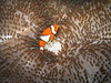 Clownfish on an Anemone Carpet (mikel.hendriks) Tags: sea bali orange fish true indonesia photo underwater nemo wildlife clown indianocean scuba diving explore clownfish anemone shipwreck tropical scubadiving reef common frontpage vis anemonefish seaanemones indonesië findingnemo false percula seaanemone tropicalfish oranje falseclownfish tulamben amphiprionocellaris indopacific falseclownanemonefish ocellaris balisea clownanemonefish anemoonvis underwaterhousing divesite usatliberty ocellarisclownfish driebandanemoonvis harlekijnvis clownvis carpetanemone falseperculaclownfish tropischevis underwatercamerahousing commonclownfish orangeclownfish indowestpacific canonpowershotg10 tropicalreeffish wpdc28 easternindianocean giantcarpetanemone stichodactylagigantea harlekijnvisje valseclownsvis tapijtanemoon anemonecarpet diepzeeduiken