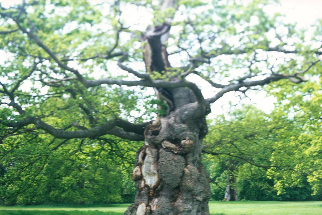 Blenheim Palace Oak Tree, View Camera