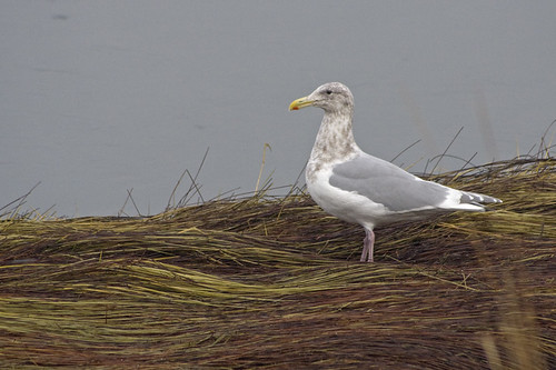 glaucous winged gull