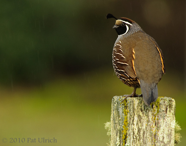 Quail in the rain