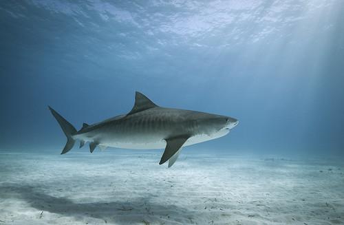 Flickriver Photoset Sharks by Alastair Pollock