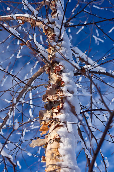 Snow Slammed Birch