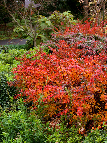 berberis thunbergii fall color