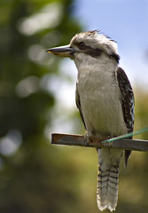 Kookaburra on the line (aussiegall) Tags: bird wings australian feathers laugh clothesline washing kookaburra amazingwildlifephotography