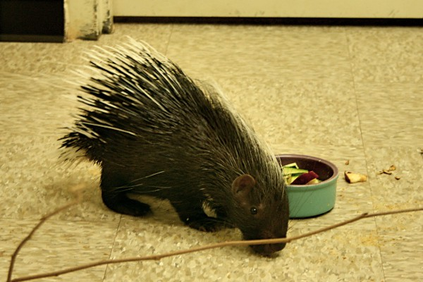 Baby Porcupine at the Wildlife World Zoo