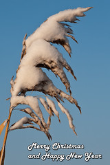 Merry Christmas and Happy New Year (BraCom (Bram)) Tags: christmas winter snow cold macro reed closeup sneeuw wish riet kerst wens bracom bramvanbroekhoven