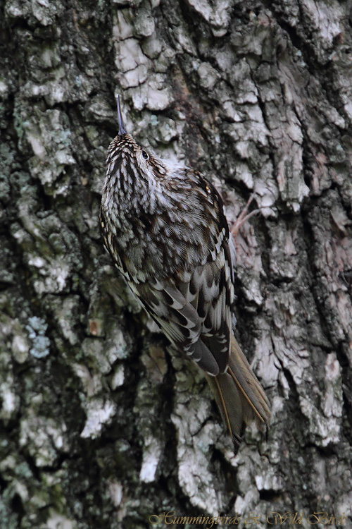 Brown-Creeper-111010