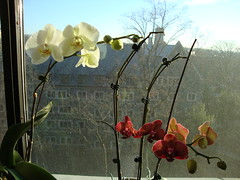 White and purple orchids, 12/20/10