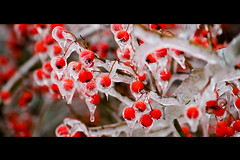 iced pear tree (JGo9) Tags: winter red cold tree ice canon eos rebel branch berries kentucky ky stanford burr peartree lincolncounty t1i