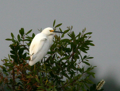 Snowy Egret 20101223