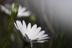 Reversed (jdkvirus) Tags: white flower macro canon garden exposure experiment daisy dreamy manual nocrop jk 2010 experimentalphotography 50d canonef100mmf28macrousm canon50d freelensing