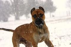 Che 18 (shootsandleashes) Tags: dog snow sl fetch supershot alanoespanol shootsandleashes