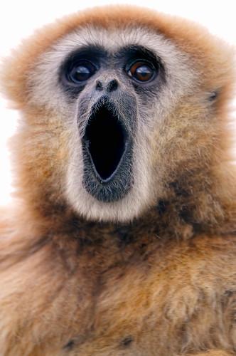 フリー写真素材, 動物, 哺乳類, 哺乳類(その他), テナガザル, 口を開ける,