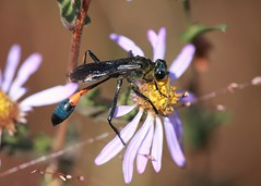 Thread Waisted Wasp (DrPhotoMoto) Tags: insect bees northcarolina ants picnik hymenoptera richmondcounty apoidea ammophila sphecidae apoidwasps ammophilapictipennis ammophilinae threadwaistedwasps waspsandsawflies andstingingwasps aculeatabees