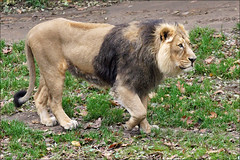 Male Asian Lion (Foto Martien (thanks for over 2.000.000 views)) Tags: india germany zoo cologne kln duitsland dierentuin keulen dierenpark klnerzoo pantheraleopersica asianlion girnationalpark asiatischelwe aziatischeleeuw liondasie indianlion duitschland a550 indischerlwe persianlion lionasiatique lenasitico martienuiterweerd martienarnhem persischerlwe sony70300gssmlens sonyalpha550 martienholland fotomartien aktiengesellschaftcolognezoologicalgarden zooofcologne zoologischegartenkln perzicheleeuw lionpersan pantheraleosinhaleyus indiasgirforest girwildlifesanctuaryingujarat northwestofindia