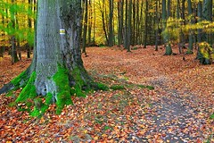 The yellow / lut (Jirka Chomat) Tags: road wood autumn trees tree fall yellow les autumncolors trail strom beech buk autumncolor podzim beechwood cesta lut hiling listy vodradskbuiny podzimnbarvy podzimnkrajina hilingtrail voderadskebuciny