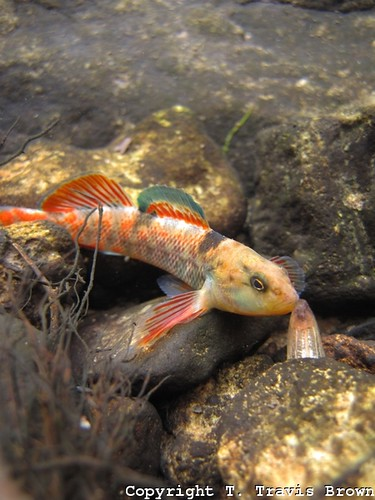 Etheostoma caeruleum (rainbow darter)3