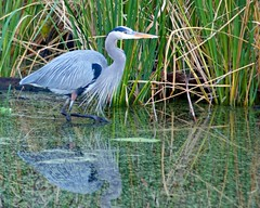 Great Blue Heron (Ken'sKam) Tags: bird nature texas wildlife waterfowl greatblueheron brazosbendstatepark