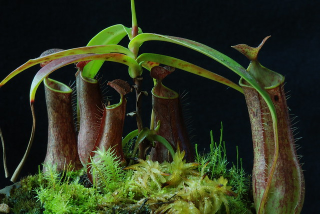 Nepenthes gracilis