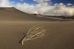 Tumbleweed (one_vision_photo) Tags: southwest solitude desert peaceful tranquility windy deathvalley sanddunes tumbleweed sagebrush desertlandscape longshadows seaofsand blowingsand latedaylight