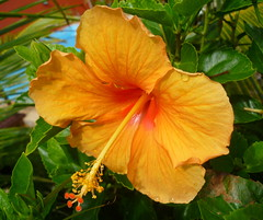 Tropical sunshine just for you! (peggyhr) Tags: pink flowers blue friends brazil orange sunlight green leaves yellow closeup golden niceshot pa hibiscus showroom tropical quintaflower waterdroplets soe ibiscus finegold superphotographer 25faves golddragon beautifulcapture mywinners peggyhr flowersarebeautiful heartawards artistspotlight everydayissunday photosthatrock goldstaraward naturemasterpiece peaceawards flowersofallkinds flowerbudsandblossoms thegoldenflower ★highqualityimages★ ddsnet ♡beautifulshot♡ awesomeblossoms 100commentgroup flickrflorescloseupmacros exceptionalflowers photographerparadise artofimages dragonflyawards unforgettableflowers hibiscuswonder floralfantasia flowerparadise naturesprime thursdayflowers newgoldenseal ohwhatabeautysimplyflorals level1photographyforrecreation franothekat ♥♥♥flowers4you♥♥♥ p1200689a worldofflowersonly thesmileyawardgroup wholelotofflowers~onlyflowers