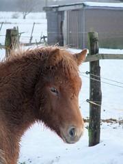 Islnder Pony,Kopf (horseandbikeride) Tags: horse island h pony pferd fohlen islnder jhrling kleinpferd