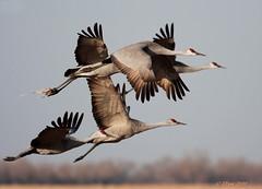 sandhill crane migration (starc283) Tags: canon nebraska crane cranes migration waterfowl sandhill sandhillcranes slbflying