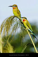 Blue-Tailed Bee-Eater (Merops philippinus) (suhaaz Kechery) Tags: meropsphilippinus thrissur birdphotography bluetailedbeeeater canon60d bluetailedbeeeatermeropsphilippinus suhaazkechery kolland simga150500dgapoos anthikkadu