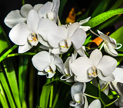 """White Orchids • <a style=""""font-size:0.8em;"""" href=""""https://www.flickr.com/photos/21540187@N07/5338995001/"""" target=""""_blank"""">View on Flickr</a>"""