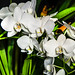 "White Orchids • <a style=""font-size:0.8em;"" href=""https://www.flickr.com/photos/21540187@N07/5338995001/"" target=""_blank"">View on Flickr</a>"