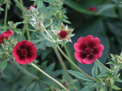 POTENTILLA thurberi 'Monarch's Velvet'