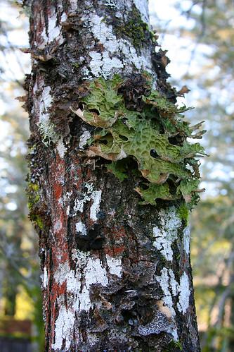 garberville_lichen-4