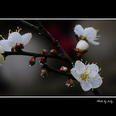 DSC_6029-2-1.jpg (lilywu_tw) Tags: flower rain taiwan  plumflower   hsinchucounty