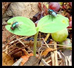 moscas-varejeiras (Lus Andr Pacheco) Tags: mosca varejeira