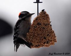 Downy Woodpecker (JRowlett) Tags: food male bird nature birds wings woodpecker downywoodpecker nikon bell eating wildlife feathers indiana feeder 300mm madison downy 2011 ilovenikon d5000 jrowlett