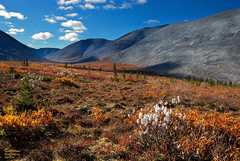 Autumn Tundra in the North Ogilvies (kdee64) Tags: north september yukon tundra salix dempsterhighway beringia willowcatkins northogilviemountains autumncoloursofthedempster