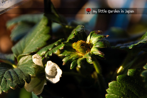 new-everbearing-strawberry-for-my-little-garden-in-japan