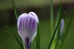 (♥ ♥ ♥ flickrsprotte♥ ♥ ♥) Tags: flowers blüte krokus frühling fensterbank flickrsprotte