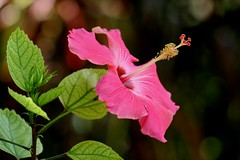Hibisco/Hibiscus/Cayena (John Brea) Tags: américa dominicanrepublic hibiscus hibisco tropic caribbean antilles cayena caribe repúblicadominicana caraïbe antillas quisqueya sanrafaeldeyuma caraibï tróppico