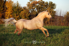 shelleypaulson_2011_131 (Shelley Paulson) Tags: autumn equine fall gallop horse liberty palomino