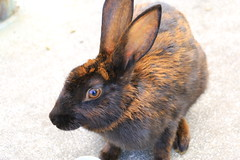 image (Rubia.A) Tags: rabbit rabbitisland okunoisland japan hiroshima うさぎ 兎 広島 大久野島