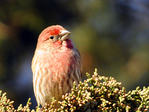 house finch red cedar