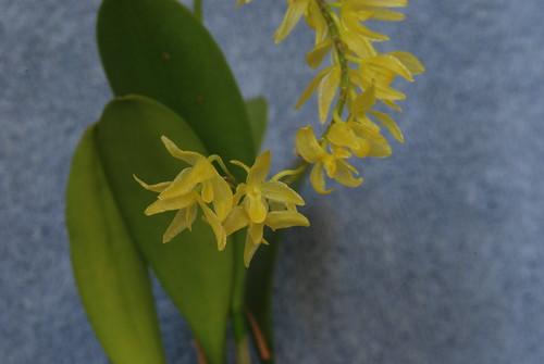 Pleurothallis quadrifolia
