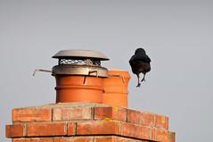 _DSC5438.jpg (mary~lou) Tags: chimney bird smile fletcher nikon mary pot hop d90 gamewinner 15challengeswinner mary~lou pregamewinner
