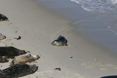 Seals at La Jolla, California