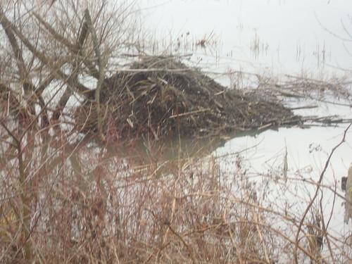 beaver lodge #2